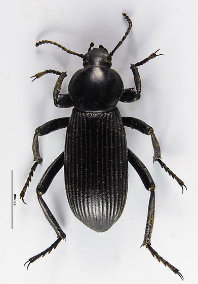 Another Eleodes? - Eleodes obscurus