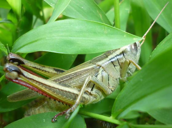 Acrididae - Melanoplus bivittatus