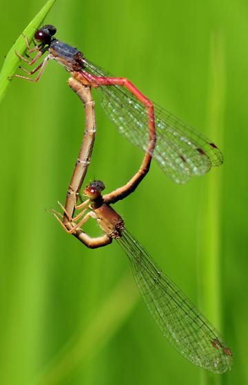 Eastern Red Damsels mating wheel - Amphiagrion saucium - male - female