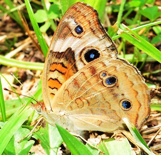 Buckeye Butterfly? - Junonia coenia