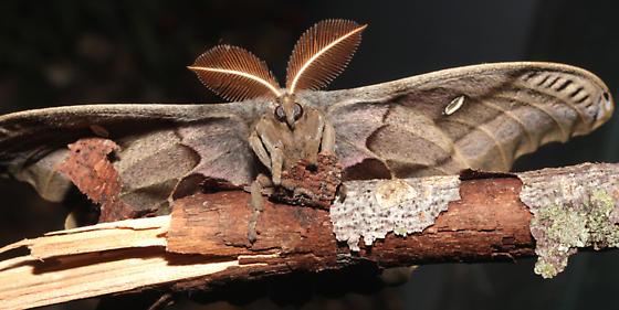 Polyphemus, released - Antheraea polyphemus - male