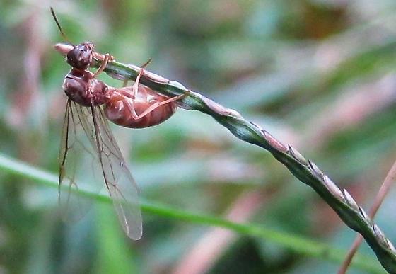 winged ant - Lasius neoniger