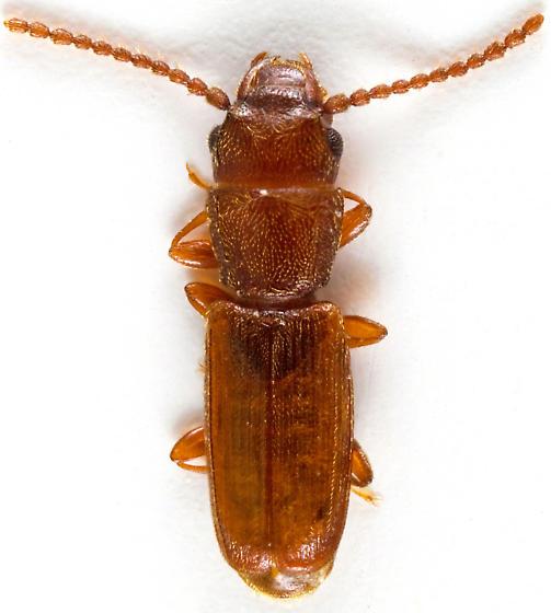 Beetle - Cryptolestes ferrugineus