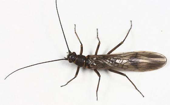 Winter Stonefly - Strophopteryx fasciata - male