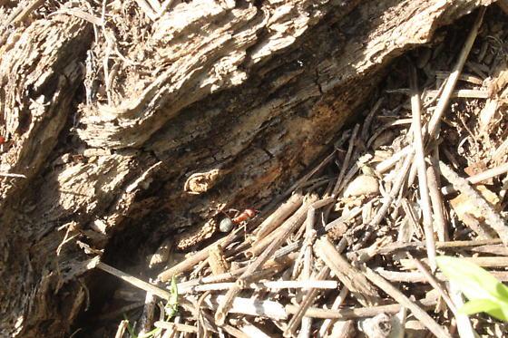 Land Caddisfly Larvae?