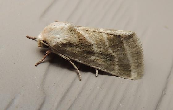 Boneset Flower Moth  - Schinia grandimedia