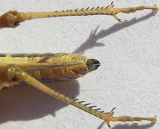 Slantfaced Pasture Grasshopper - Orphulella speciosa - female