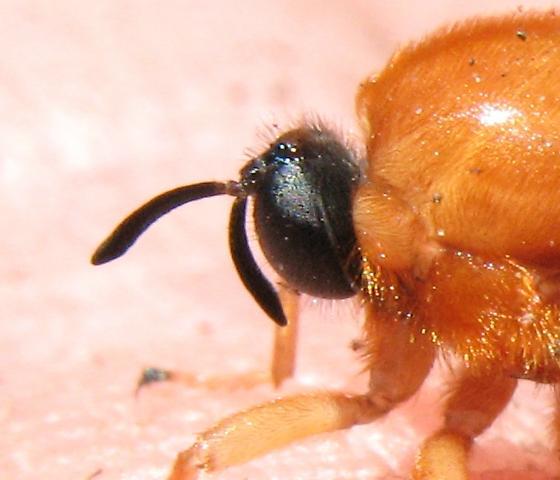 Acrocerid - Ocnaea auripilosa - female