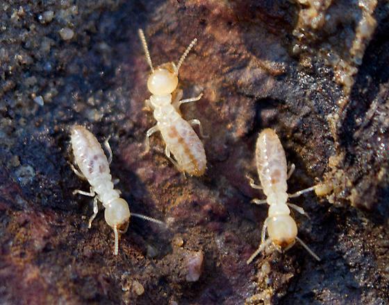 Termites - Reticulitermes