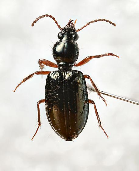 Small Carabid - Scaritinae? - Semiardistomis viridis