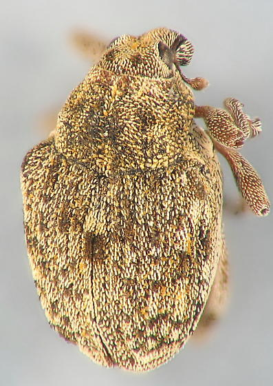 Weevil on milkweed flower - Rhinoncus bruchoides