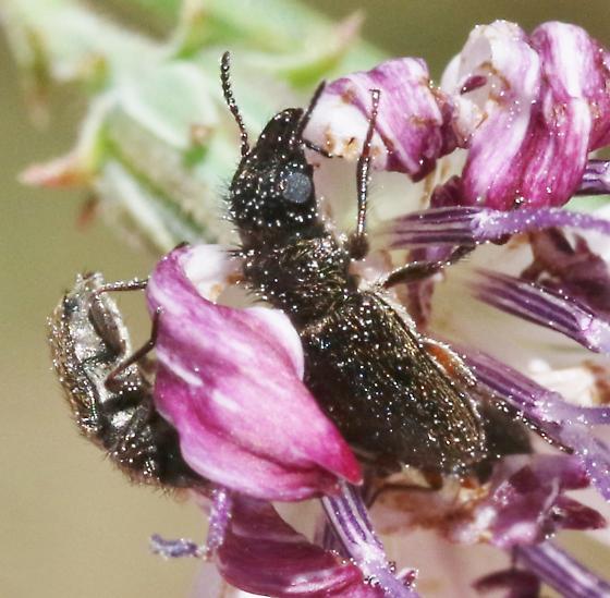 Scelopristis grandiceps - Asydates grandiceps