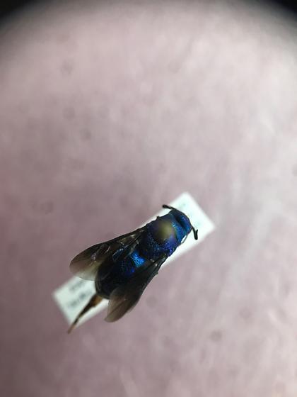Chrysidiae (Cuckoo Wasp) - Chrysis angolensis