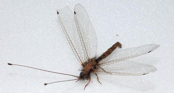 Interesting Eyes - Ululodes macleayanus - male