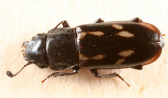 small beetle - Glischrochilus vittatus