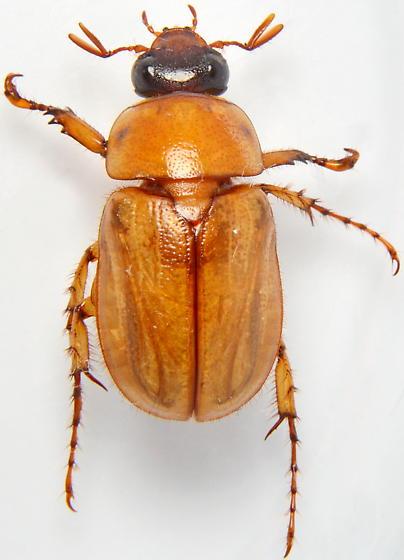820W08 - Cyclocephala lurida - male