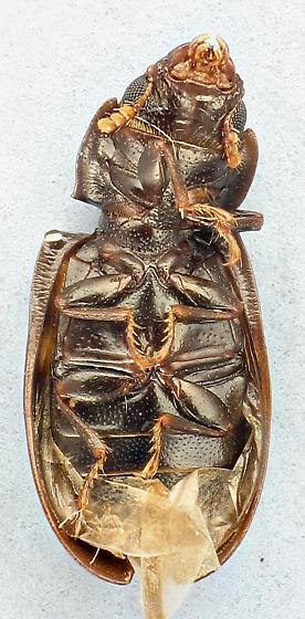 Backyard Beetle #450 - Tenebroides bimaculatus