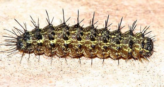 Painted Lichen Moth caterpillar - Hypoprepia fucosa