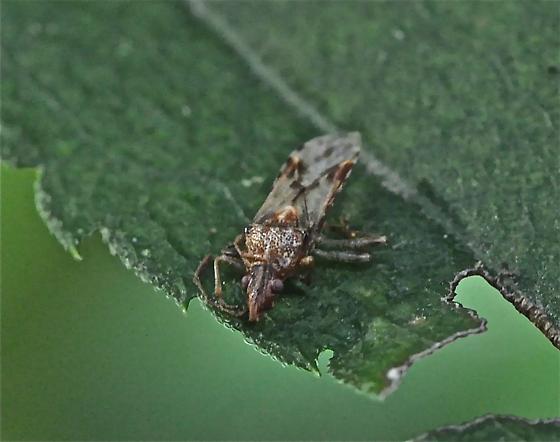 9/24 Bug - Belonochilus numenius