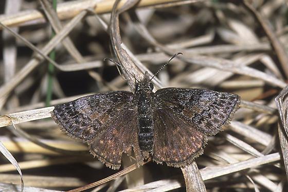Dreamy Duskywing - Erynnis icelus - female