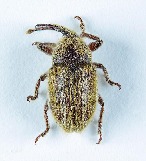 One hairy little weevil. - Eustenopus villosus