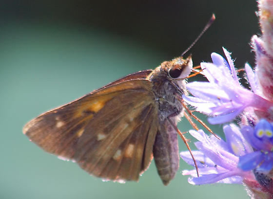 Is this a broad-winged skipper? - Poanes viator