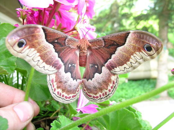 Giant Silk Moth - Callosamia promethea