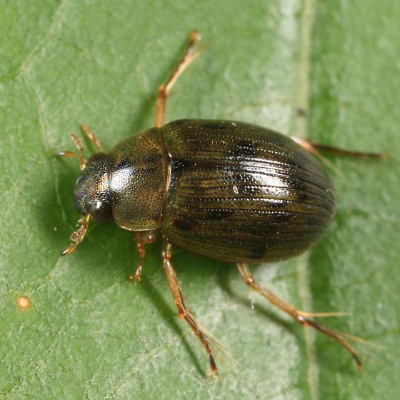 Water Scavenger Beetle - Berosus hatchi - male