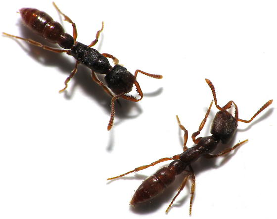 Queen Size Comparison - Dracula Ants - Stigmatomma pallipes