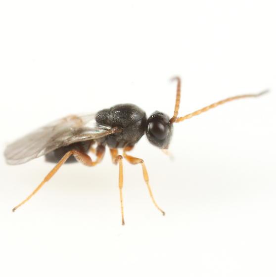 Cynipid ex Andricus pattoni gall - Ceroptres