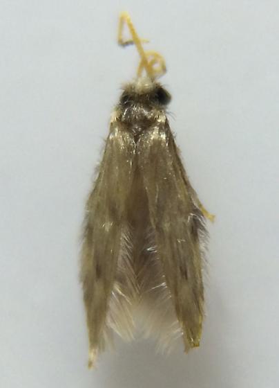 Hydroptilid - Oxyethira zeronia - male