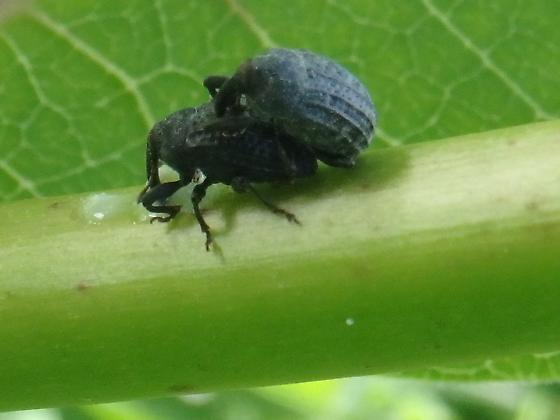 Weevils - Rhyssomatus lineaticollis