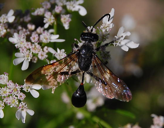 grass-carrying wasp? - Isodontia mexicana
