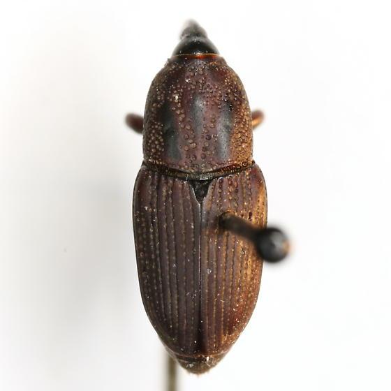 Sphenophorus pontederiae Chittenden - Sphenophorus pontederiae