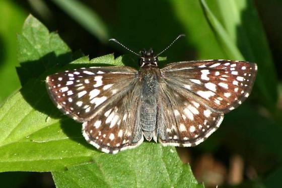 Tropical Checkered-Skipper - Pyrgus oileus - female