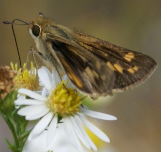Hylephila phyleus? - Hylephila phyleus - female