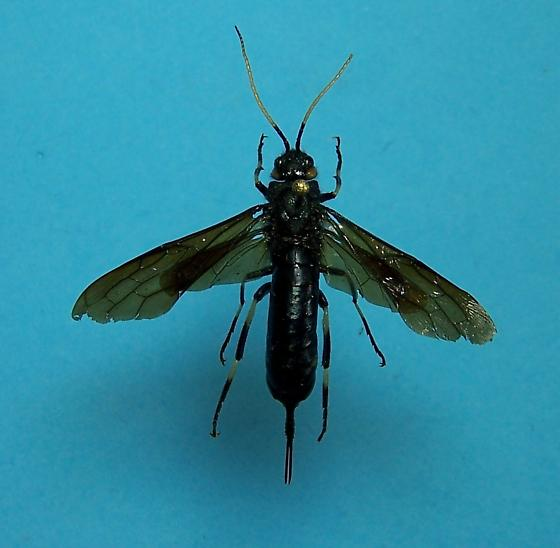 Horntail - Urocerus albicornis - female