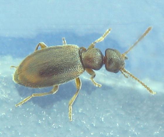 a sub-2mm anthicid - Anthicus melancholicus