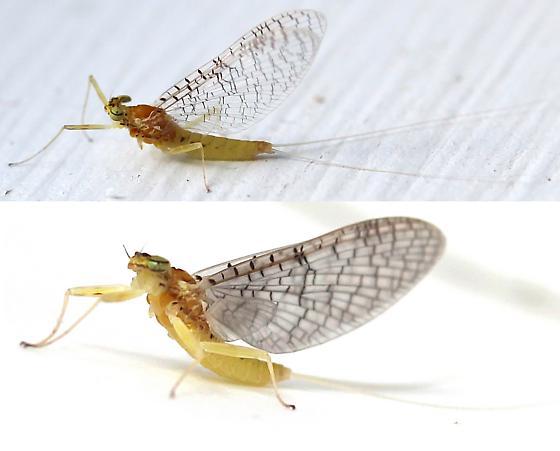 Unknown Mayfly - Maccaffertium - male