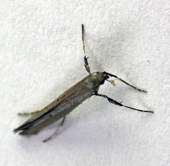 Alder leaftier - Gracillariid? - Caloptilia alnivorella