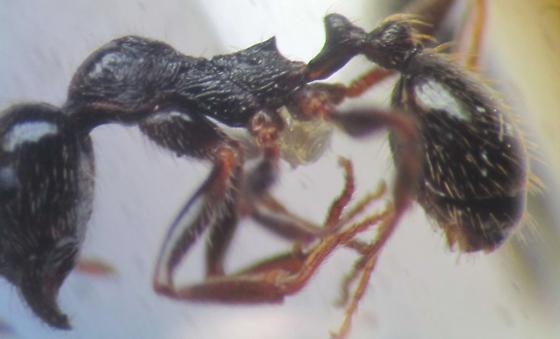 Aphaenogaster sp. - Aphaenogaster occidentalis - female