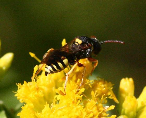 Cuckoo bee - Nomada placida - male
