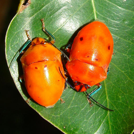 Augocoris illustris (Hemiptera: Scutelleridae) - Augocoris illustris