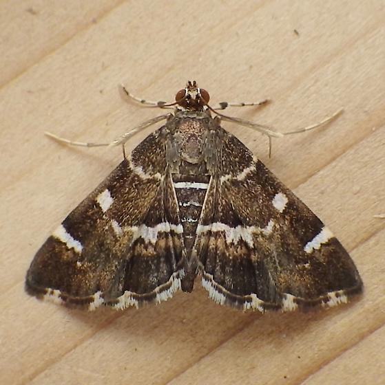 Crambidae: Hymenia perspectalis - Hymenia perspectalis