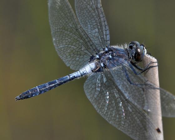 FROSTED WHITEFACE - Leucorrhinia frigida - male