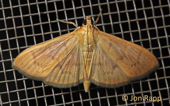 Herbivorous Pleuroptya Moth - Patania silicalis