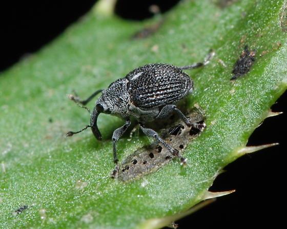 White spotted weevil? - Homorosoma sulcipenne