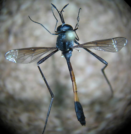 mystery fly - Systropus macer