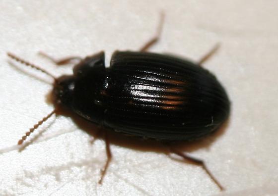 Beetle - Platydema excavatum - male