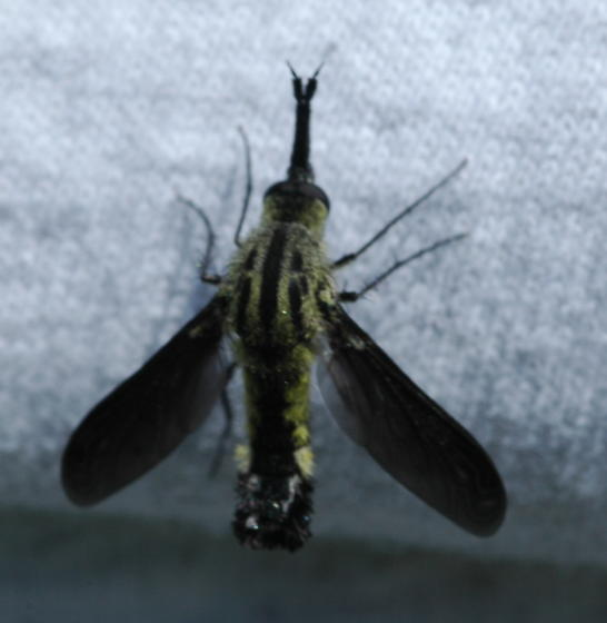 Hunchback Bee Fly - Lepidophora lutea